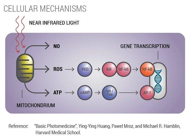photobiomodulation mechanisms